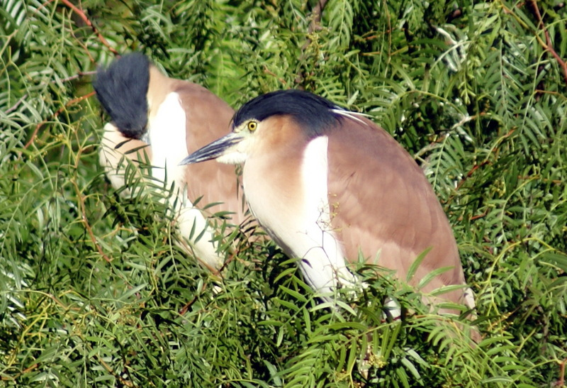 Nankeen Night-heron (Nycticorax caledonicus ) - Wiki; DISPLAY FULL IMAGE.