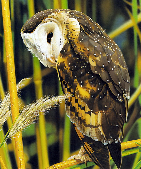 Eastern Grass-owl (Tyto longimembris) - Wiki; Image ONLY