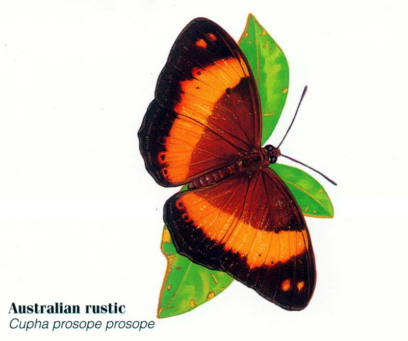 Australian Rustic Butterfly (Cupha prosope); DISPLAY FULL IMAGE.