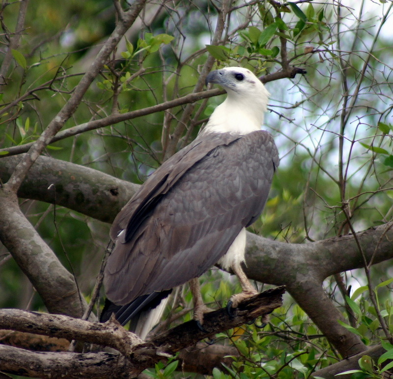 White-bellied Sea-eagle (Haliaeetus leucogaster) - Wiki; DISPLAY FULL IMAGE.