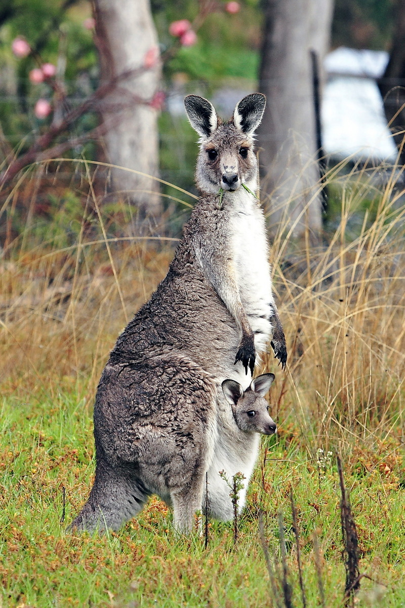 Eastern Grey Kangaroo (Macropus giganteus) - Wiki; DISPLAY FULL IMAGE.