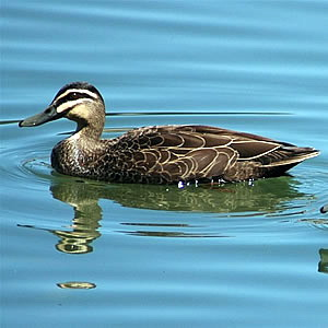 Pacific Black Duck (Anas superciliosa) - Wiki; Image ONLY