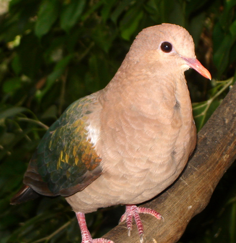 Emerald Dove (Chalcophaps indica) - Wiki; DISPLAY FULL IMAGE.