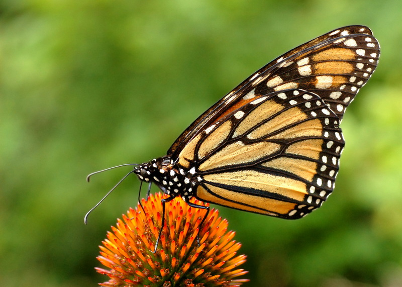 Monarch Butterfly (Danaus plexippus) - Wiki; DISPLAY FULL IMAGE.