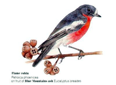 Flame Robin (Petroica phoenicea); Image ONLY