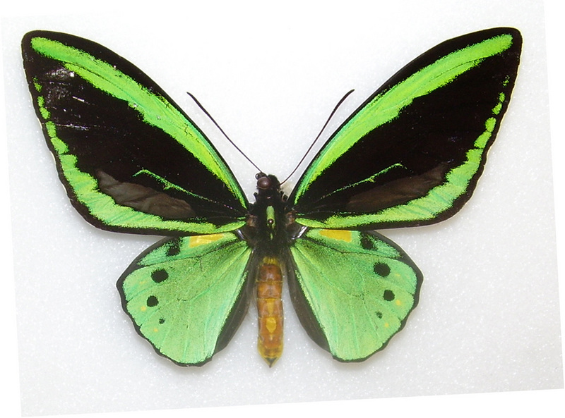 Common Green Birdwing (Ornithoptera priamus) - Wiki; DISPLAY FULL IMAGE.