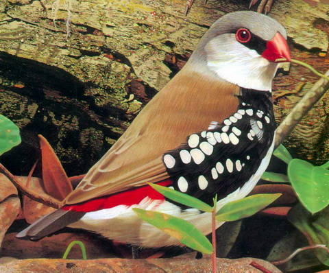 Diamond Firetail (Stagonopleura guttata) - Wiki; Image ONLY
