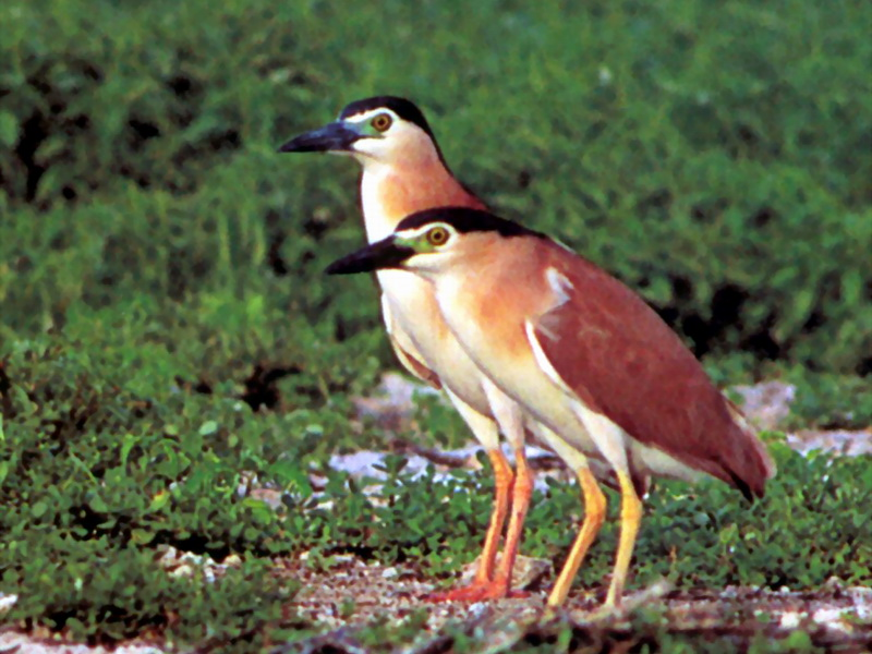 Nankeen Night-Heron (Nycticorax caledonicus) pair; Image ONLY