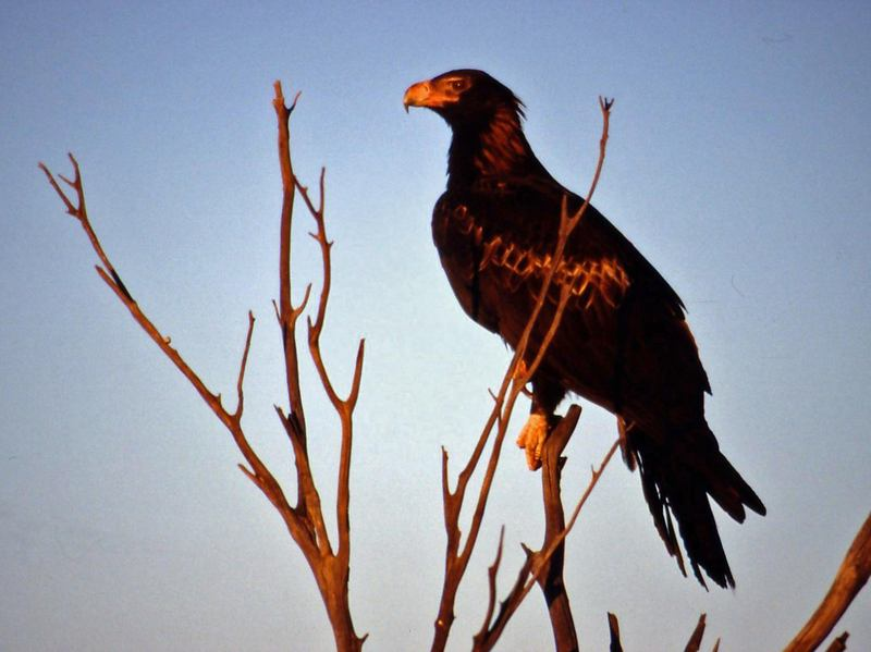 Wedge-tailed Eagle (Aquila audax) - Wiki; DISPLAY FULL IMAGE.
