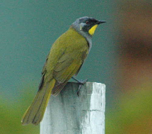 Yellow-throated Honeyeater (Lichenostomus flavicollis) - Wiki; Image ONLY
