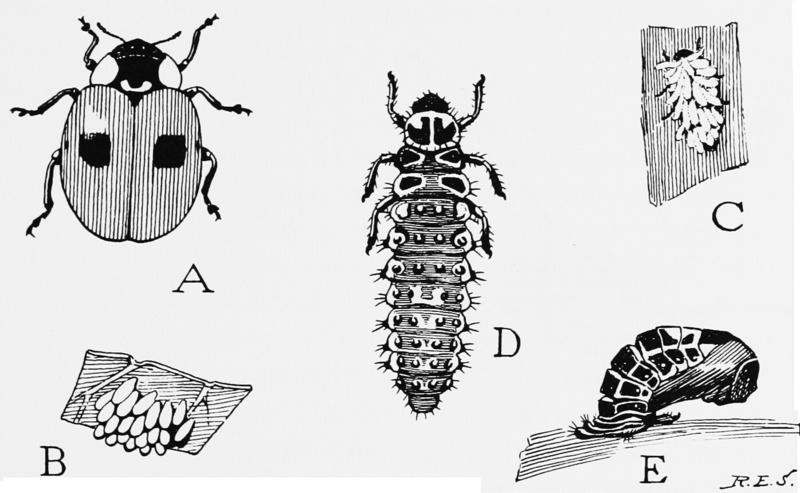 Two-spotted Lady Beetle (Adalia bipunctata) life cycle; DISPLAY FULL IMAGE.