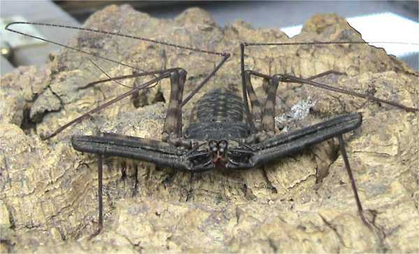 Tailless Whip Scorpion (Order: Amblypygi) - Wiki; Image ONLY