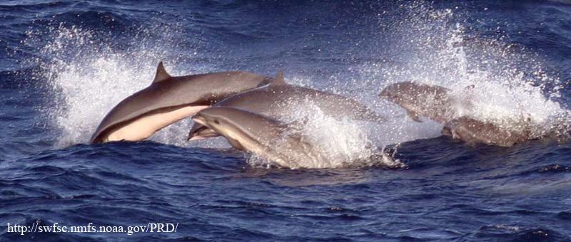 Fraser s group-Fraser\'s Dolphin (Lagenodelphis hosei) or Sarawak Dolphin.jpg