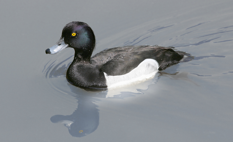 Tufted Duck (Aythya fuligula) - Wiki; DISPLAY FULL IMAGE.