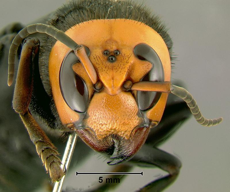 Asian Giant Hornet (Vespa mandarinia).jpg
