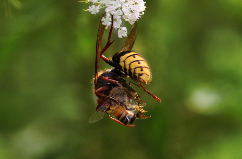 European Hornet (Vespa crabro) feeding; DISPLAY FULL IMAGE.