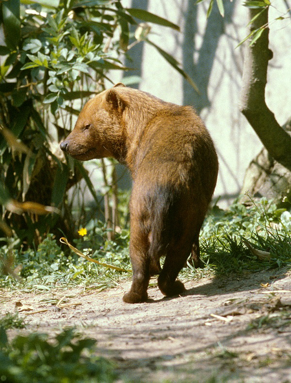 Bush Dog (Speothos venaticus) - Wiki; Image ONLY