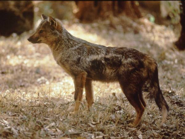 Side-striped Jackal (Canis adustus) - Wiki; Image ONLY
