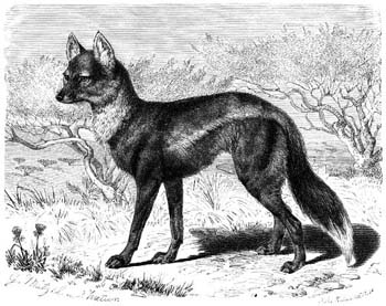 Side-striped Jackal (Canis adustus) old drawing; Image ONLY