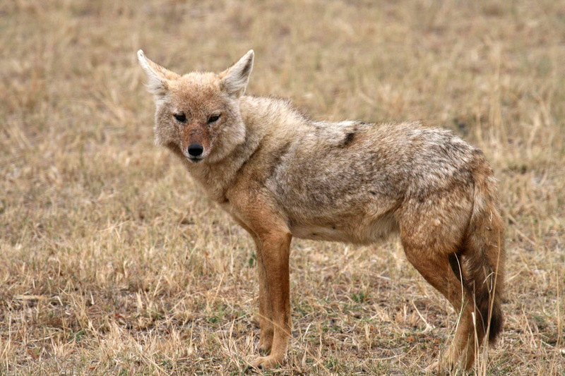 Golden Jackal (Canis aureus) - Wiki; DISPLAY FULL IMAGE.