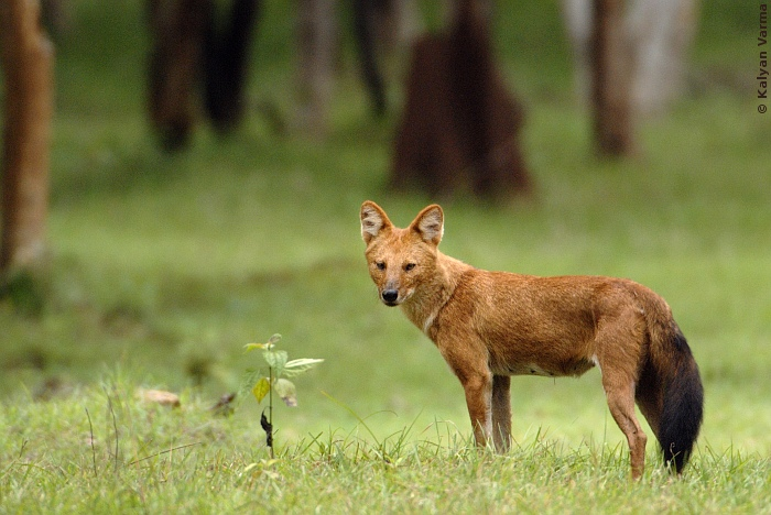 Wilddog brt-Dhole (Cuon alpinus) Asiatic Wild Dog.jpg