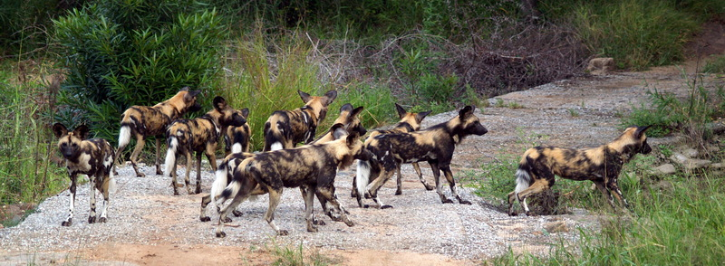 Wild Dog Kruger National Park South Africa-African Wild Dog (Lycaon pictus).jpg