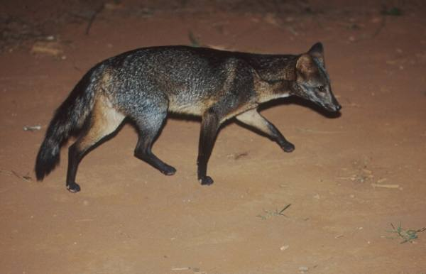 Crab-eating Fox (Cerdocyon thous) - Wiki; Image ONLY