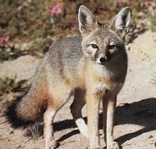 Swift Fox (Vulpes velox) - Wiki; Image ONLY