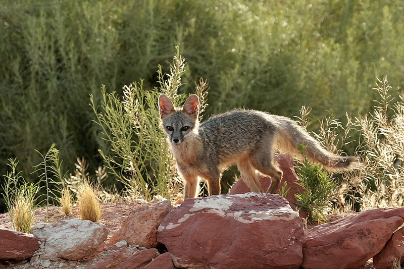 Kit Fox (Vulpes macrotis) - Wiki; DISPLAY FULL IMAGE.