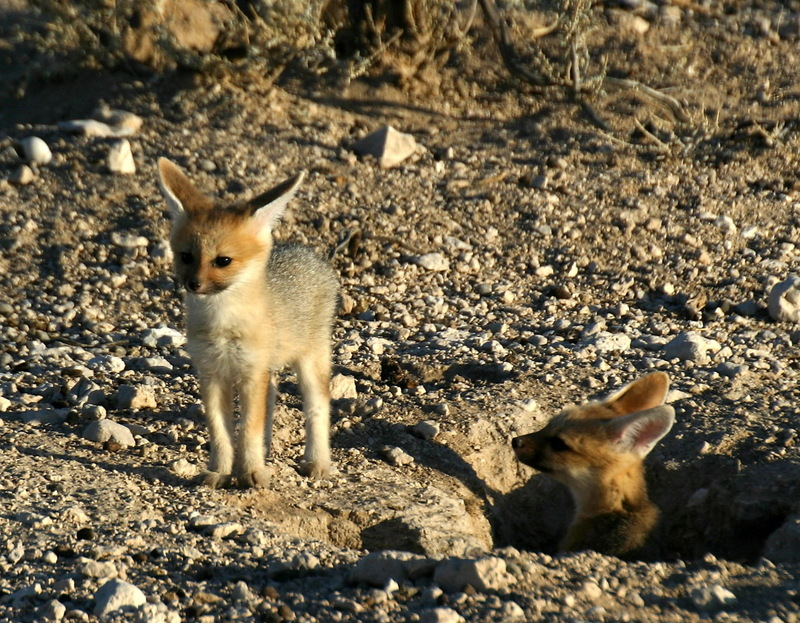 Cape Fox (Vulpes chama) juveniles; DISPLAY FULL IMAGE.