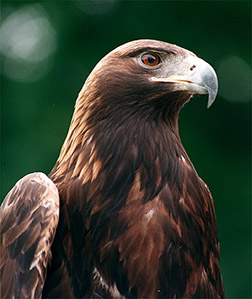 Golden Eagle (Aquila chrysaetos) - Wiki; Image ONLY