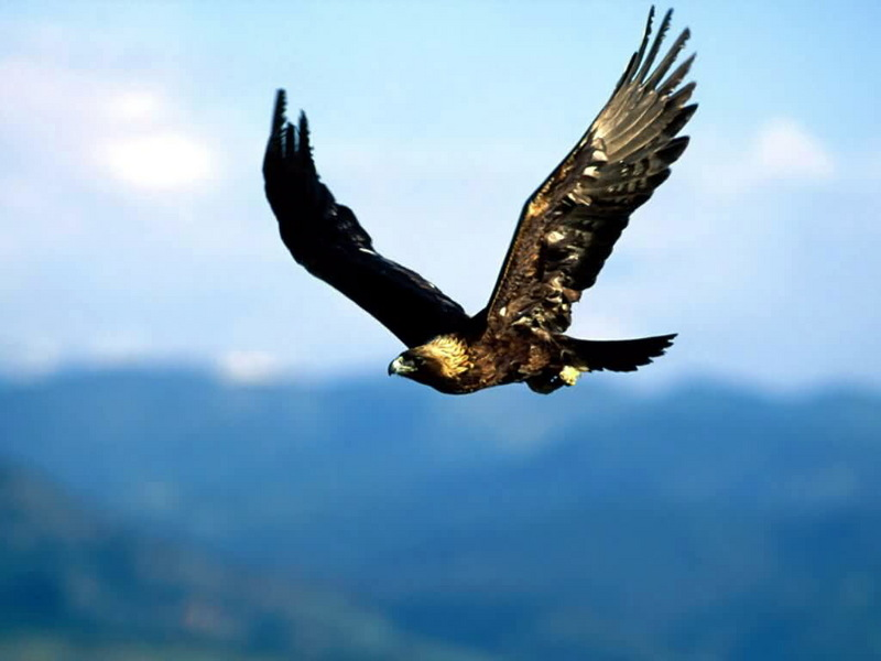Golden Eagle (Aquila chrysaetos) flying; DISPLAY FULL IMAGE.