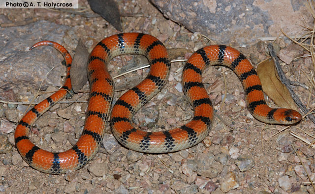 Common Ground Snake (Sonora semiannulata) - Wiki; Image ONLY