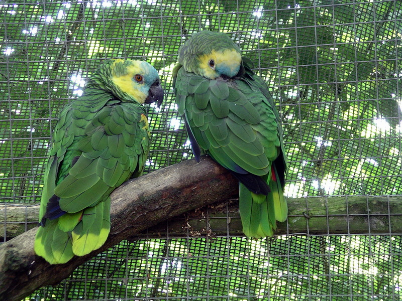 Amazon Parrot (Family: Psittacidae, Genus: Amazona) - Wiki; DISPLAY FULL IMAGE.