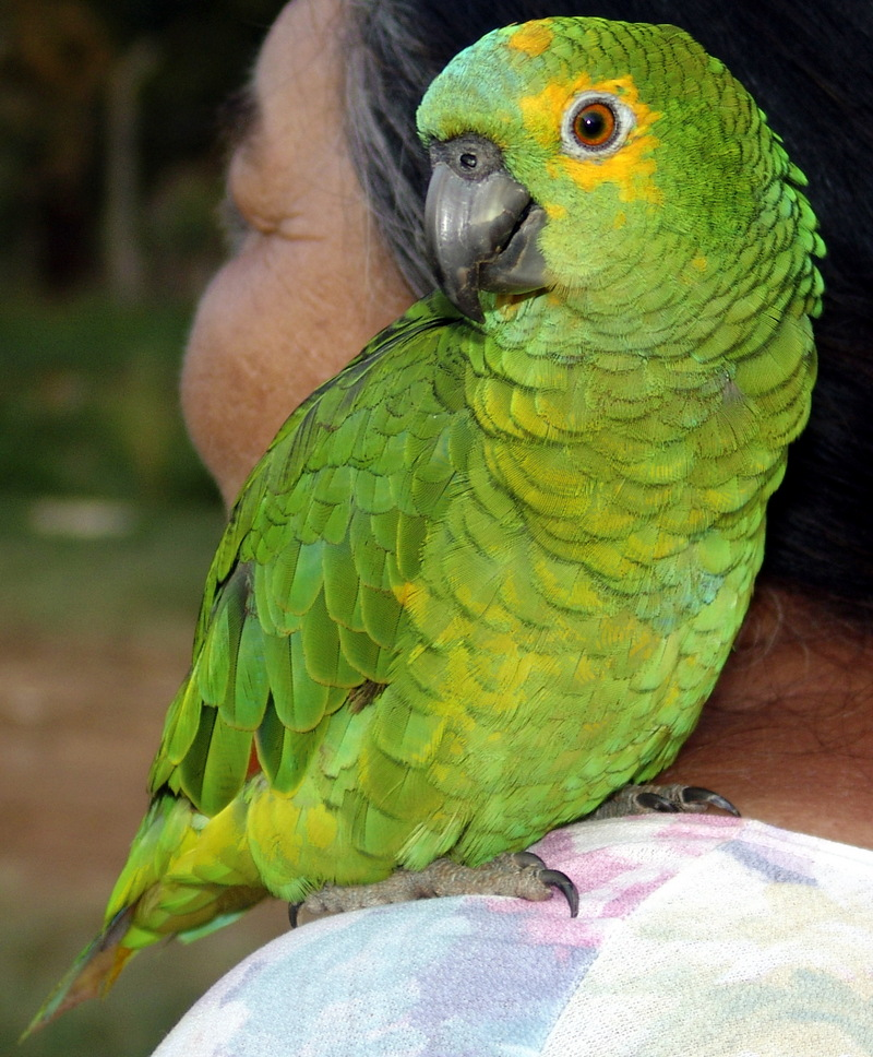 Blue-fronted Amazon (Amazona aestiva) - Wiki; DISPLAY FULL IMAGE.