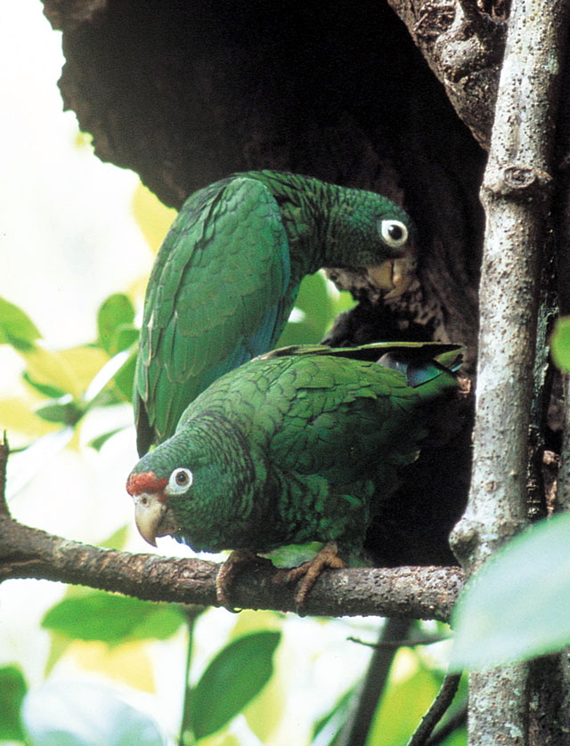 Puerto Rican Amazon (Amazona vittata) - Wiki; Image ONLY