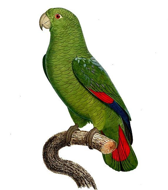 Black-billed Amazon (Amazona agilis) - Wiki; Image ONLY