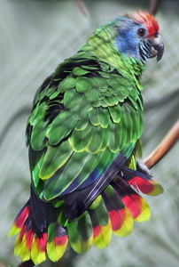 Red-tailed Amazon (Amazona brasiliensis) - Wiki; Image ONLY