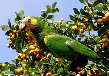 Yellow-shouldered Amazon (Amazona barbadensis) - Wiki; Image ONLY