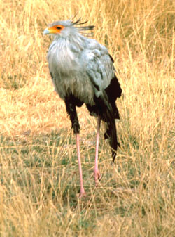 Secretary Bird (Sagittarius serpentarius) from Tanzania; Image ONLY