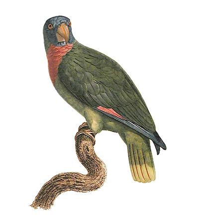 Red-necked Amazon (Amazona arausiaca) - Wiki; Image ONLY