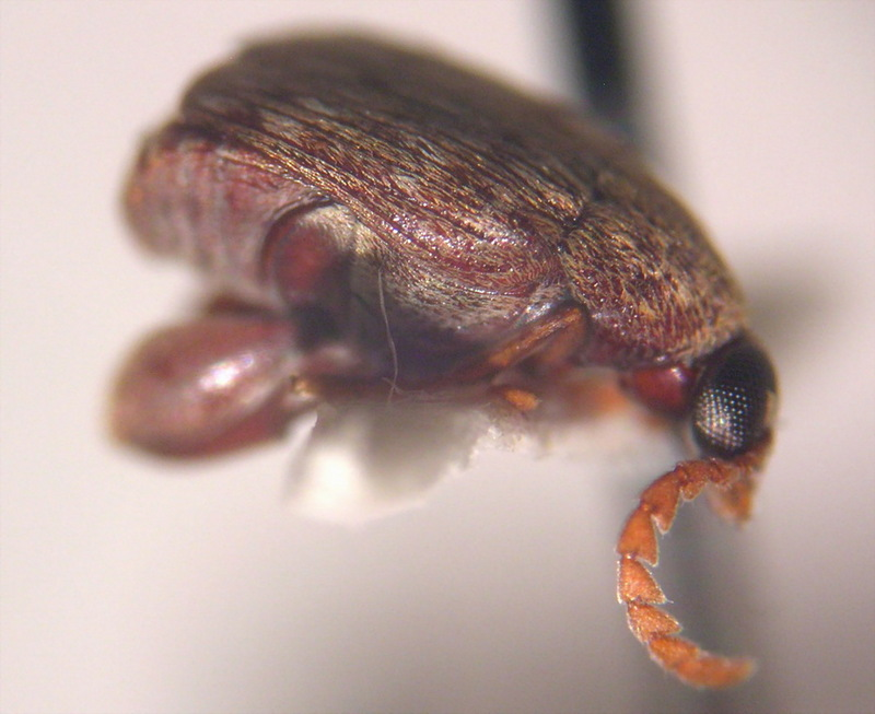 Bean Weevil (Family: Chrysomelidae, Subfamily: Bruchinae) - Wiki; DISPLAY FULL IMAGE.