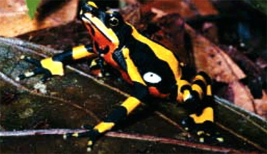 Costa Rican Variable Harlequin Toad (Atelopus varius) - Wiki; Image ONLY