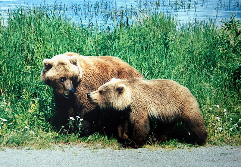 A mother and a cub bears-Grizzly Bear (Ursus arctos horribilis).jpg