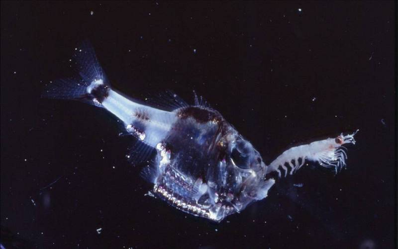 Half-naked Hatchetfish (Argyropelecus hemigymnus) - Wiki; DISPLAY FULL IMAGE.