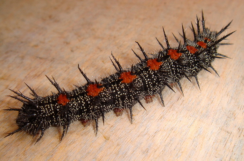 Mourning Cloak (Nymphalis antiopa) - spiny elm caterpillar; DISPLAY FULL IMAGE.