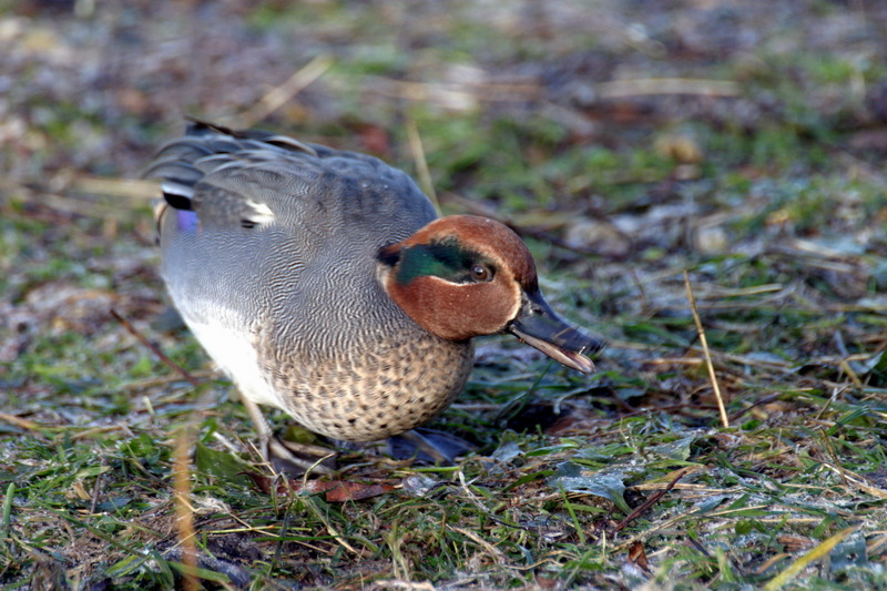 Common Teal (Anas crecca) - Wiki; DISPLAY FULL IMAGE.