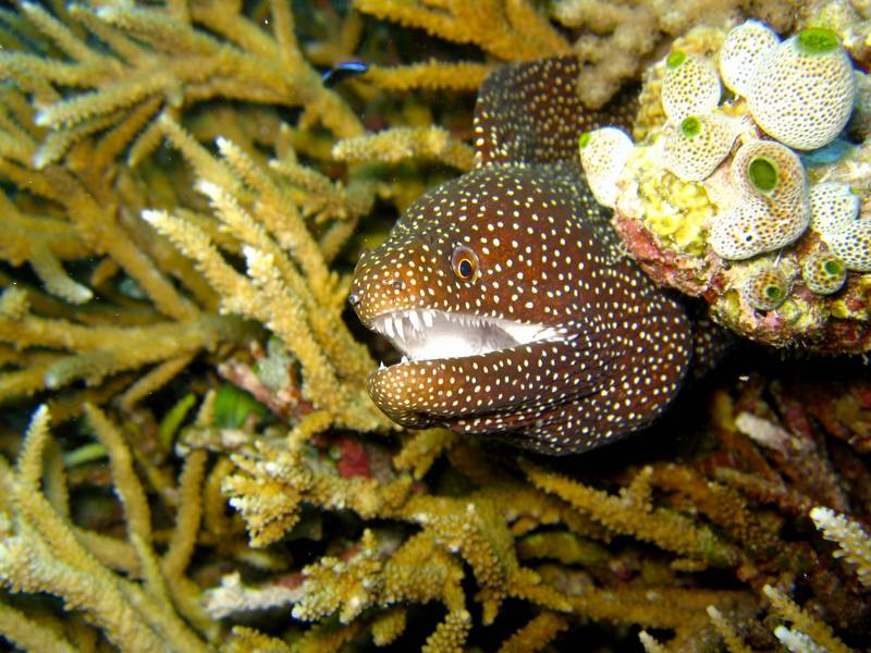 Moray Eel (Family: Muraenidae) - Wiki <!--곰치류-->; DISPLAY FULL IMAGE.