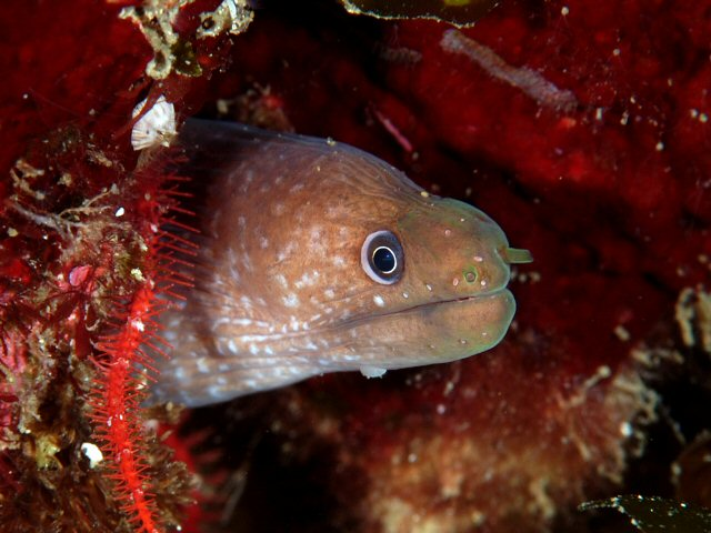 Moray Eel (Gymnothorax bacalladoi) - Wiki; Image ONLY