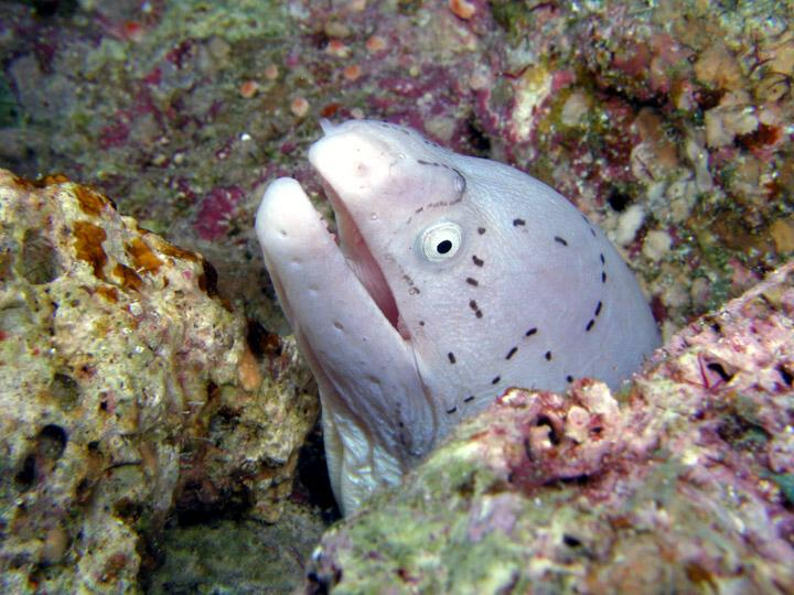 Geometric Moray Eel (Gymnothorax griseus) - Wiki; Image ONLY